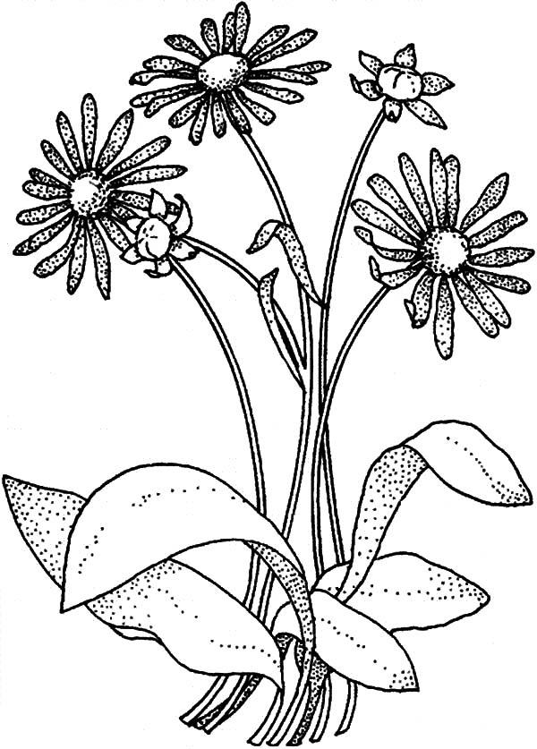 A Is For Aster Flower Coloring Pages