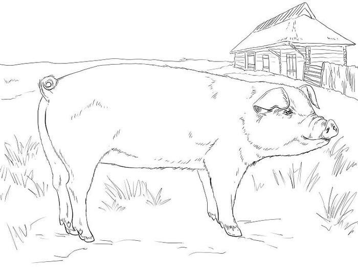 Adult Pig Coloring Pages
