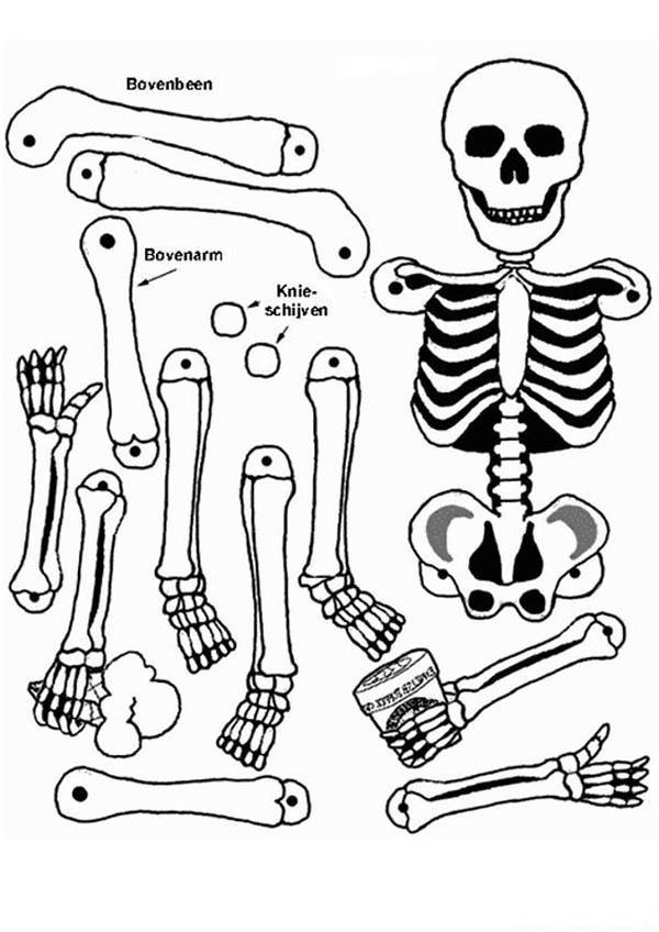 All Human Bones In Human Anatomy Coloring Pages