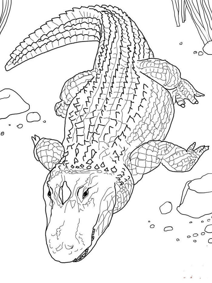 Alligator Coloring Pages Printable