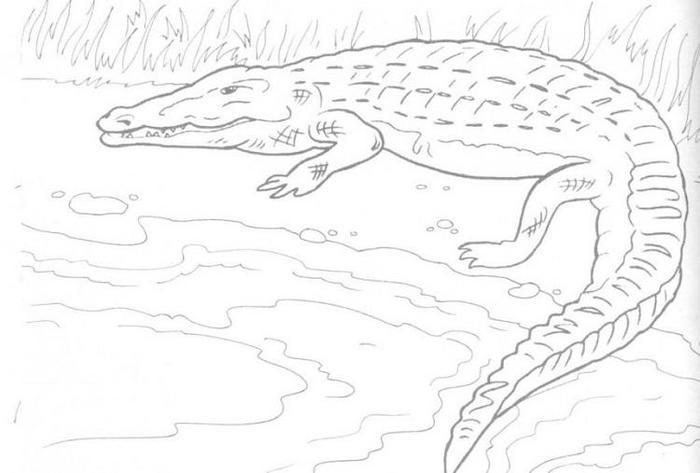 Alligator Reptile Coloring Pages