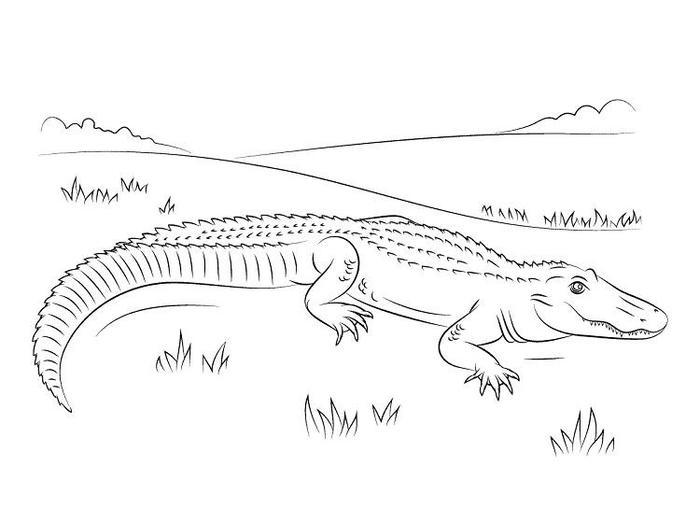 American Alligator Coloring Pages