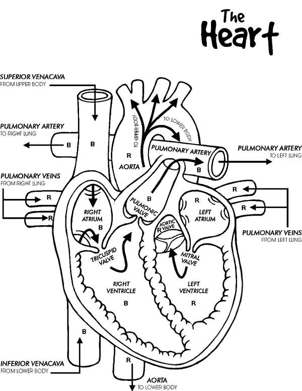 Anatomi Of Human Heart Coloring Pages