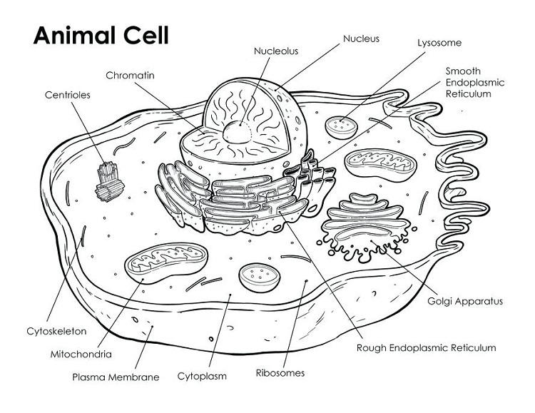 Animal Cell Coloring Page Answers