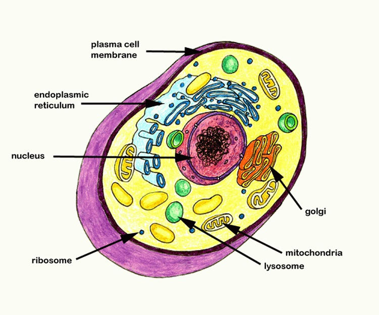 Animal Cell Coloring Page Key