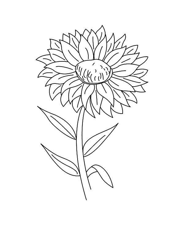Aster Flower Outline Coloring Pages
