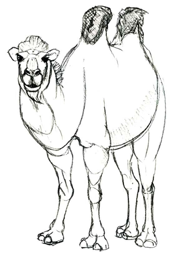 Awesome Animal Bactria Camel Coloring Pages