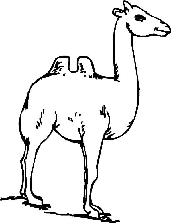 Bactria Camel Has Long Neck Coloring Pages