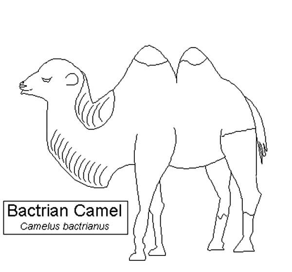 Bactria Camel Species Coloring Pages