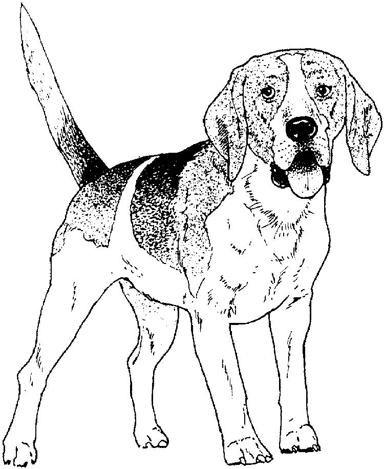 Beagle Dog Coloring Pages Realistic