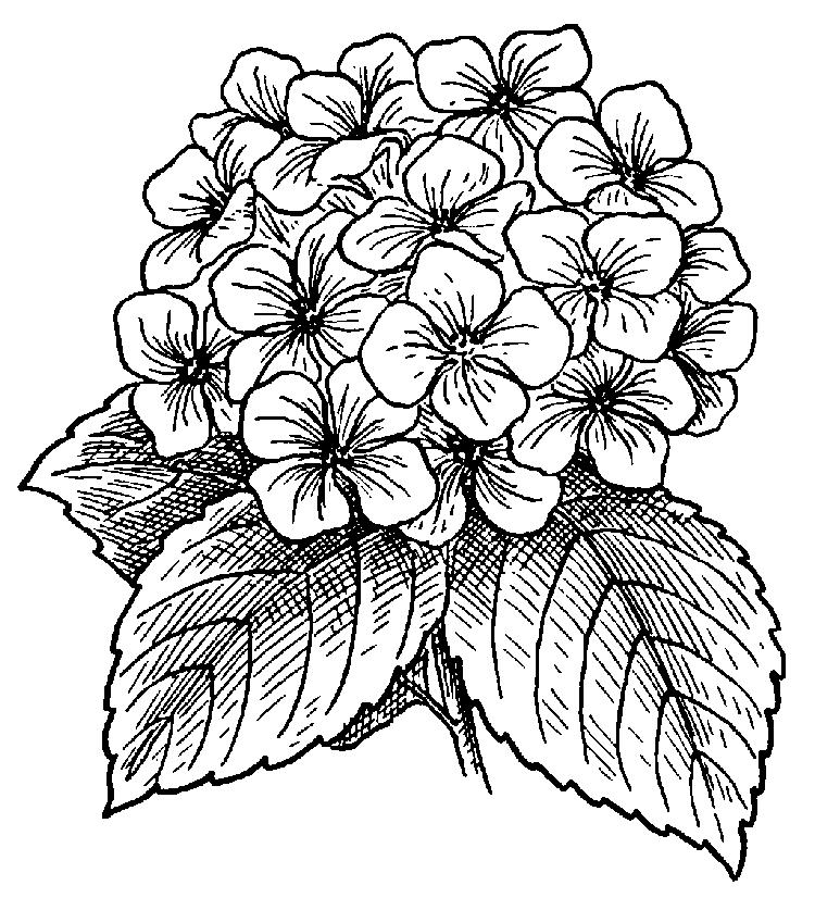 Beautiful Hydrangea Flower Coloring Picture