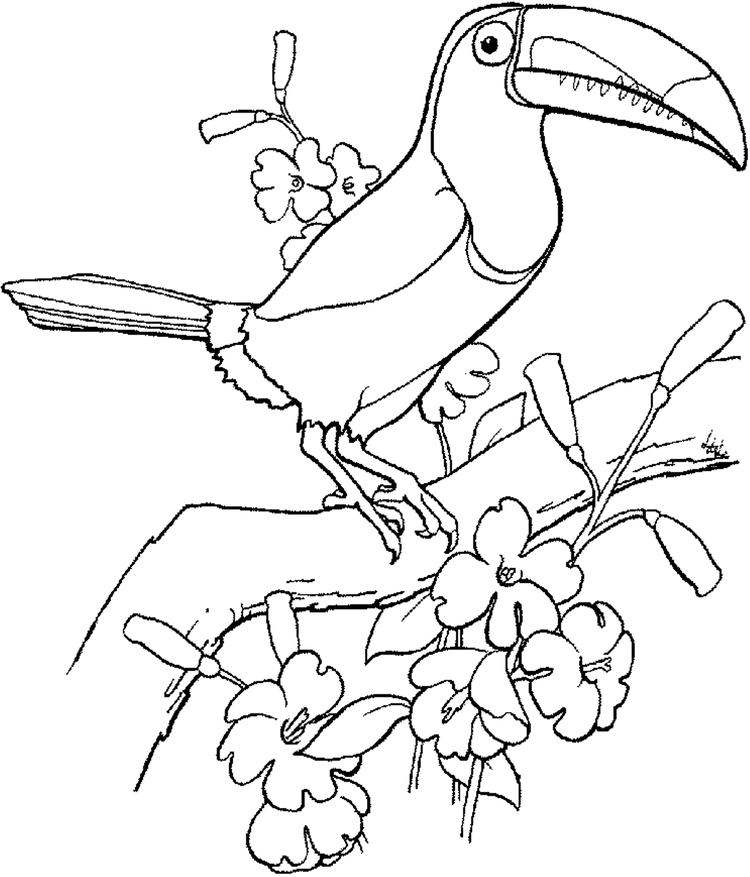 Bird Coloring Page Toucan