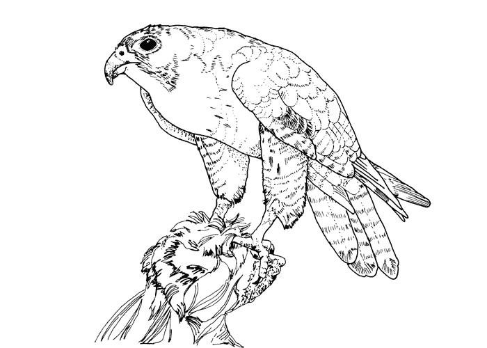 Bird Coloring Pages Falcon