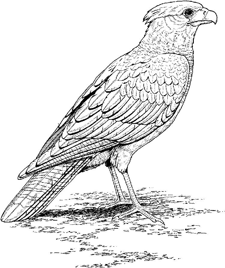 Bird Coloring Pages Realistic Falcon