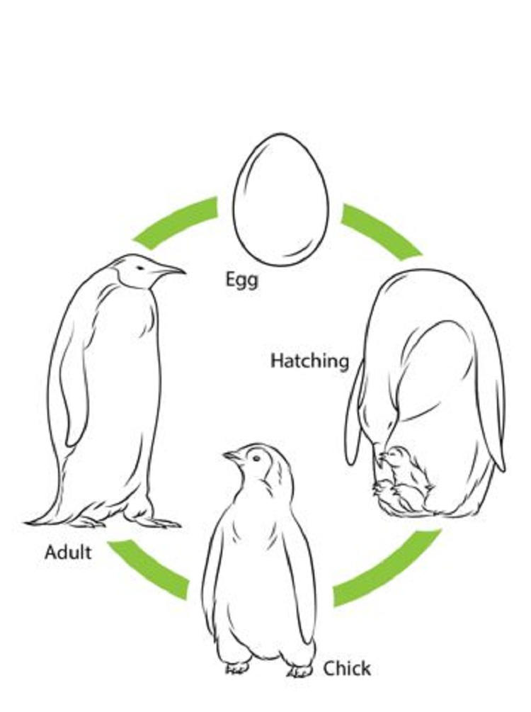 Bird Life Cycle Coloring Page