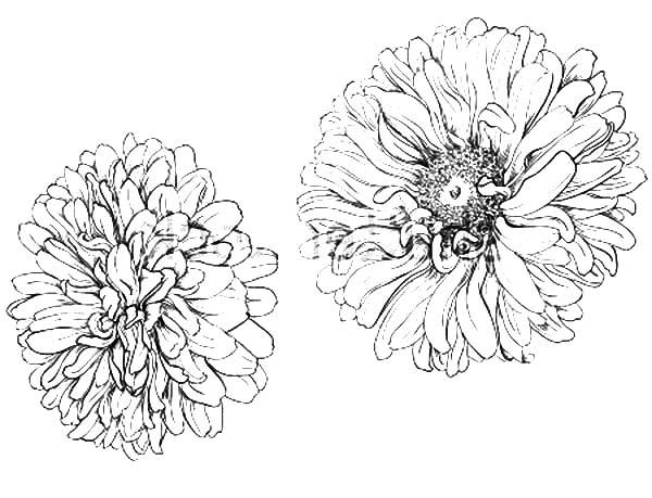 Blooming Aster Flower Coloring Pages