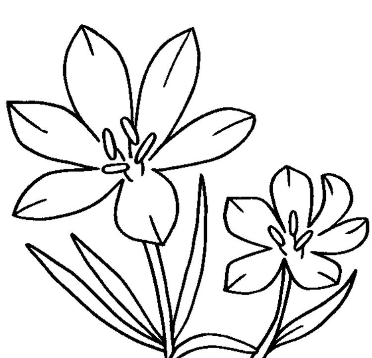 Blossom Crocus Flower Coloring Page