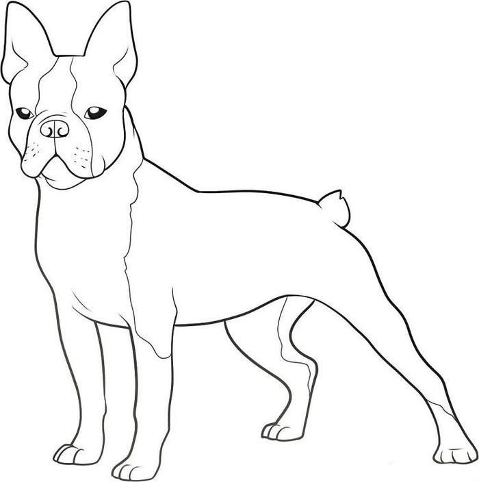 Boston Terrier Dog Coloring Pages