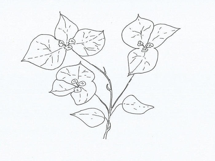 Bougainvillea Coloring Pages Free