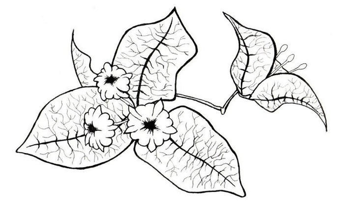 Bougainvillea Drawing Coloring Pages
