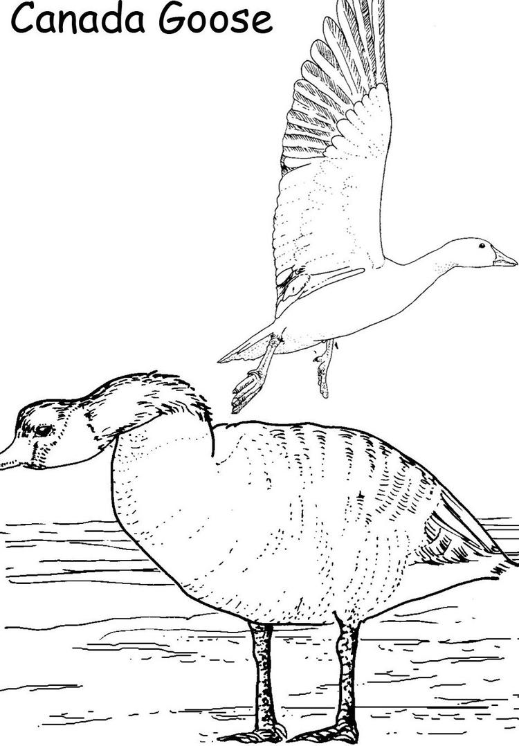 Canada Goose Printable Animal Coloring Pages