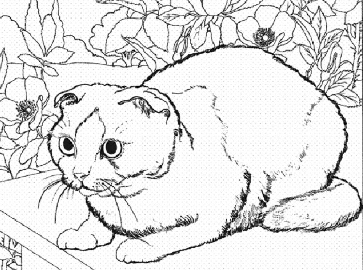 Cat Breed Coloring Pages