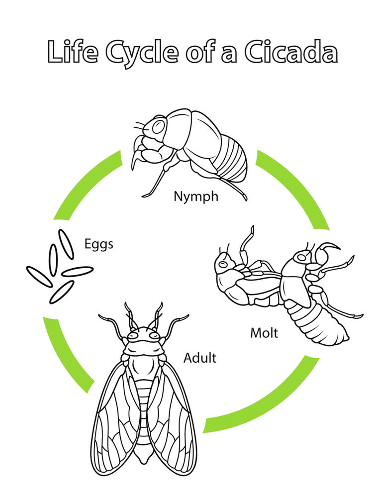 Cicada Life Cycle Coloring Page Online