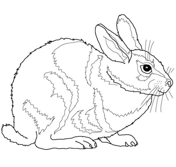 Cottontail Rabbit Coloring Pages