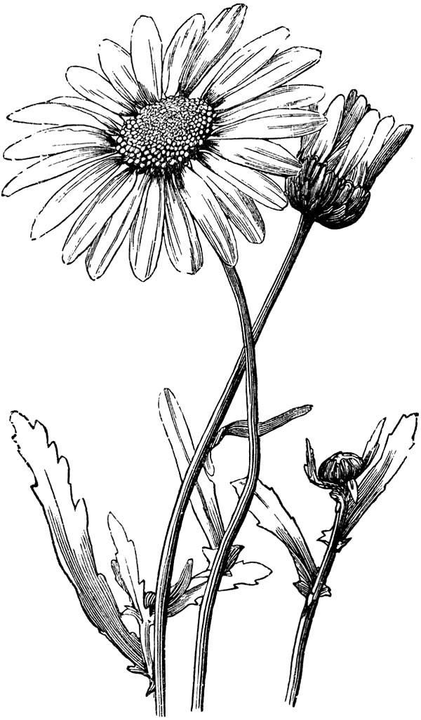 Decorate Your House With Aster Flower Coloring Pages