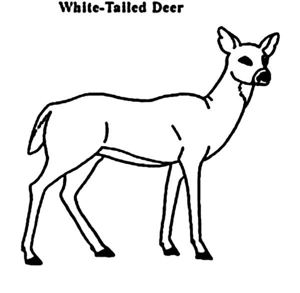 Deer Coloring Pages White Tailed
