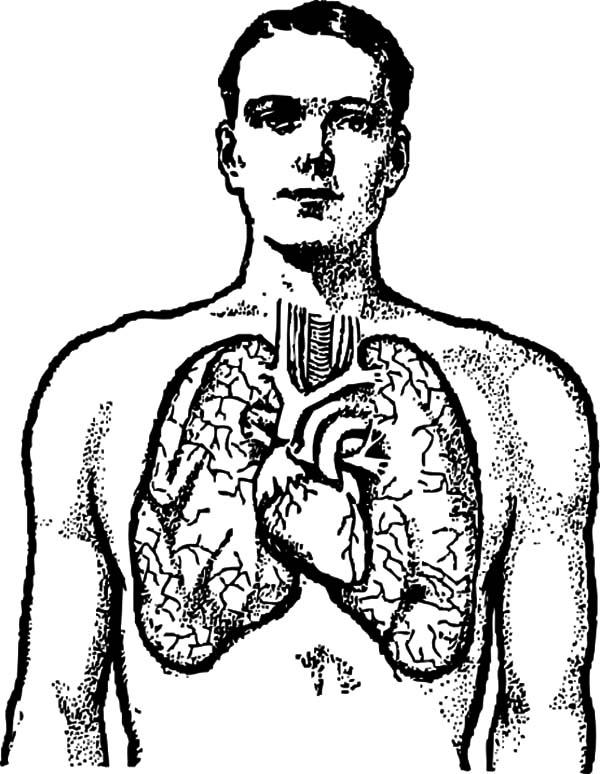 Diagram Of A Male Chest Organs Anatomi Coloring Pages