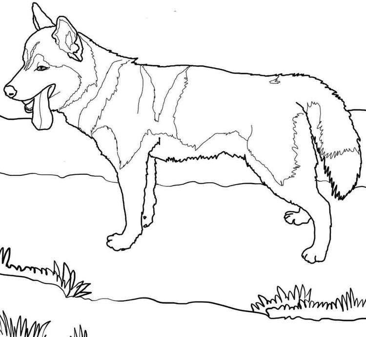 Dog Coloring Pages Siberian Husky