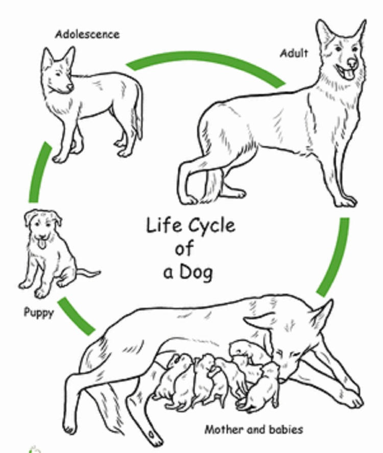 Dog Life Cycle Coloring Pages