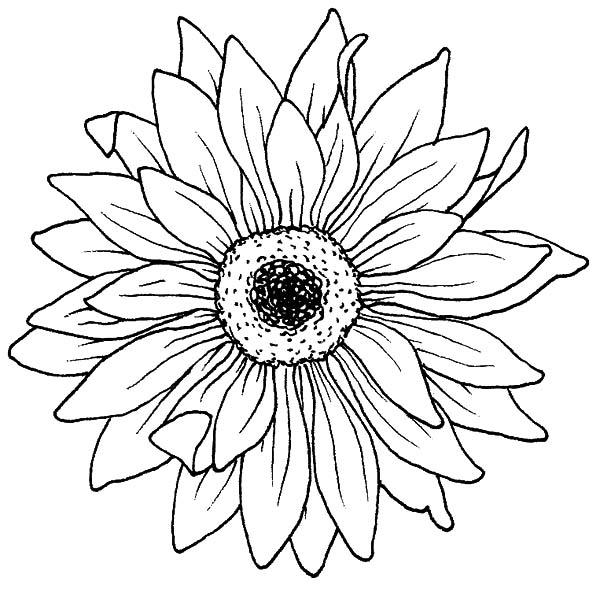 Drawing Blooming Aster Flower Coloring Pages
