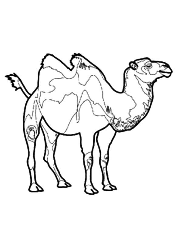 Endangered Bactria Camel Coloring Pages
