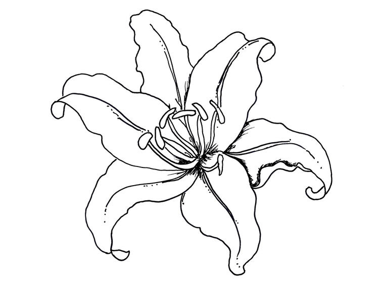 Flower Coloring Pages Lily