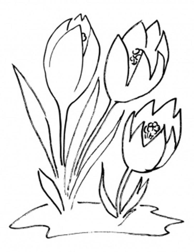 Free Crocus Flower Coloring Page