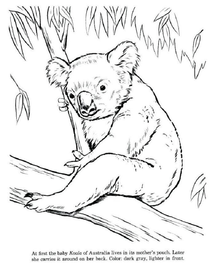 Free Koala Coloring Pages