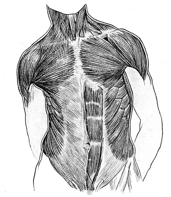 Front Side Of Human Anatomy Of Muscle Coloring Pages