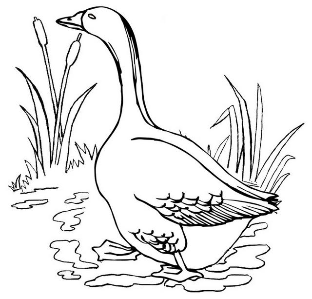 Goose Living In Habitat Coloring Page - Coloring Ideas