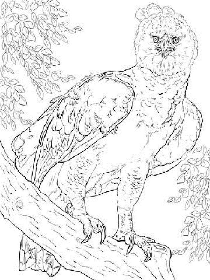 Harpy Eagles Coloring Pages