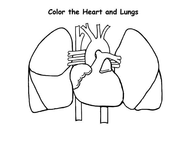 Heart And Lungs Anatomi Coloring Pages