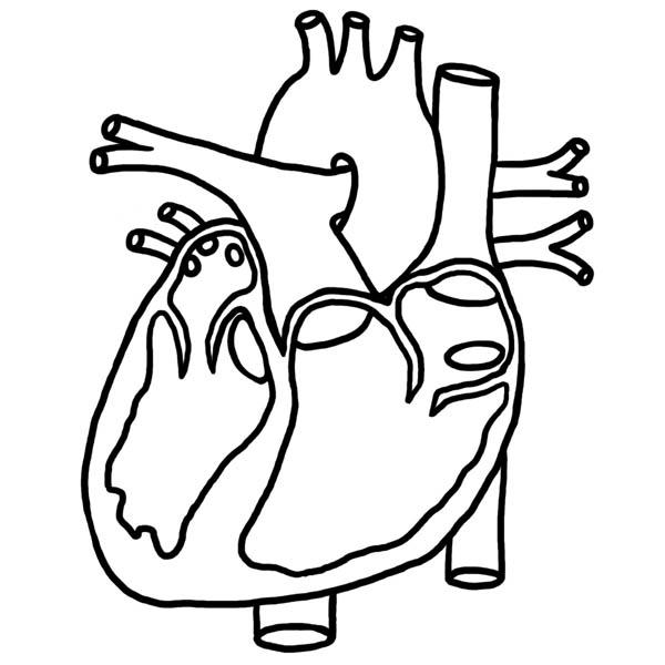 Heart Picture In Human Anatomy Coloring Pages