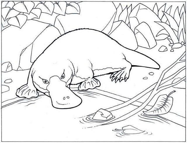 High Detailed Realistic Platypus Coloring Pages