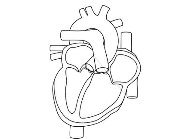 How To Draw Human Anatomy Heart Coloring Pages
