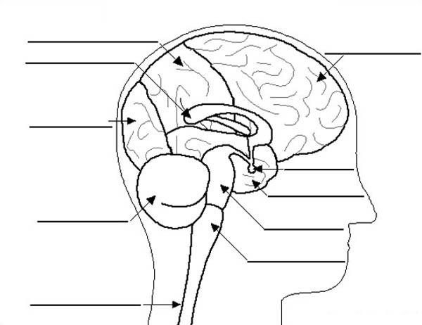 Human Anatomy Brain Label Coloring Pages
