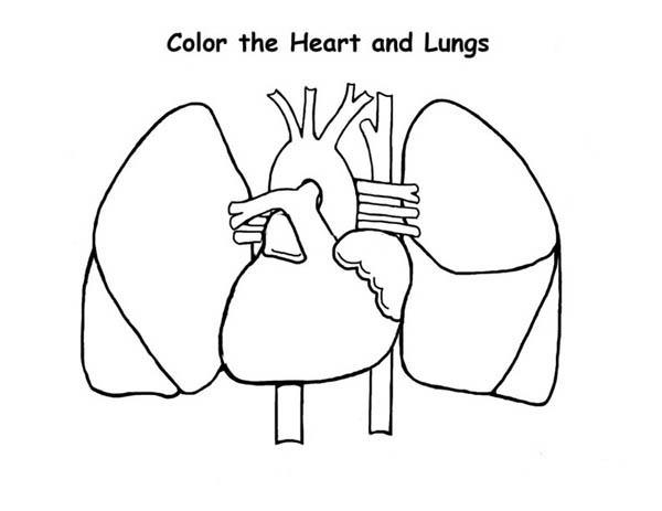 Human Anatomy Of Heart And Lungs Coloring Pages