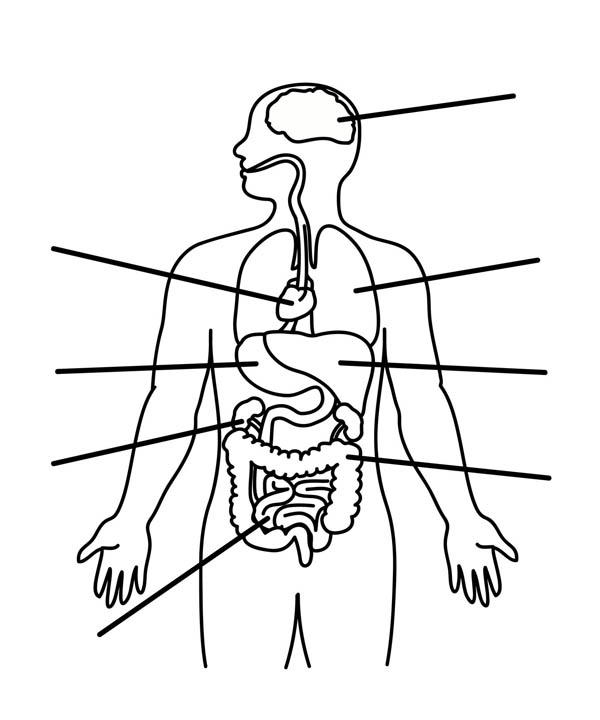 Human Anatomy Organs Coloring Pages