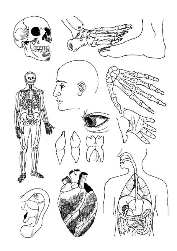 Human Body Anatomi Coloring Pages