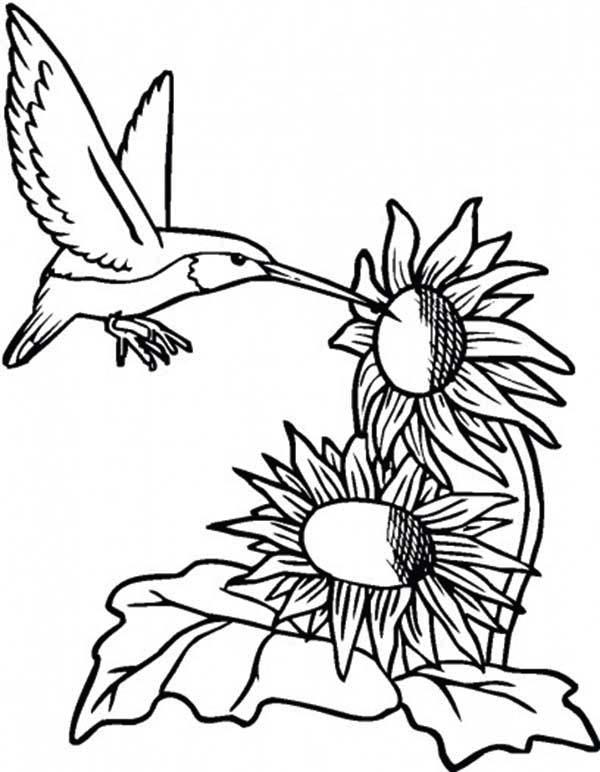 Hummingbird Coloring Pages Sunflowers